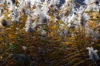 近拍秋天的芦苇草图