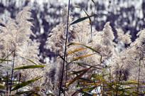 近拍秋天湖边的芦苇草图