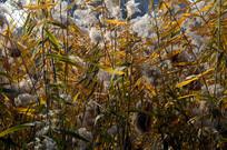 近拍秋天湖边的芦苇草图片