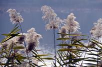 近拍秋天湖边的芦苇图片