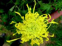 卷曲的黄色花瓣