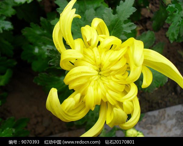 菊花的花骨朵图片图片