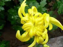 菊花的花骨朵图片