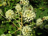 落满蜜蜂的白色花朵
