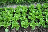 生菜鹅仔菜植物
