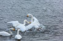 水中的天鹅