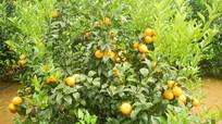 冰糖橙果园图