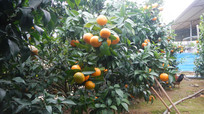 沃柑果园图