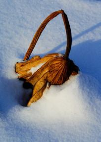 冬季的枯叶