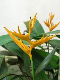蝎尾蕉花朵特写