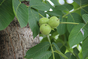 核桃树上的核桃果实