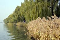 颐和园湖水里的芦苇草图片