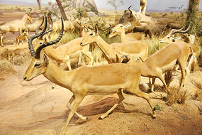 动物标本奔跑的羚羊群