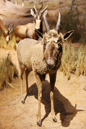 动物标本非洲角马