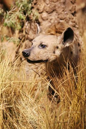 动物标本非洲狼