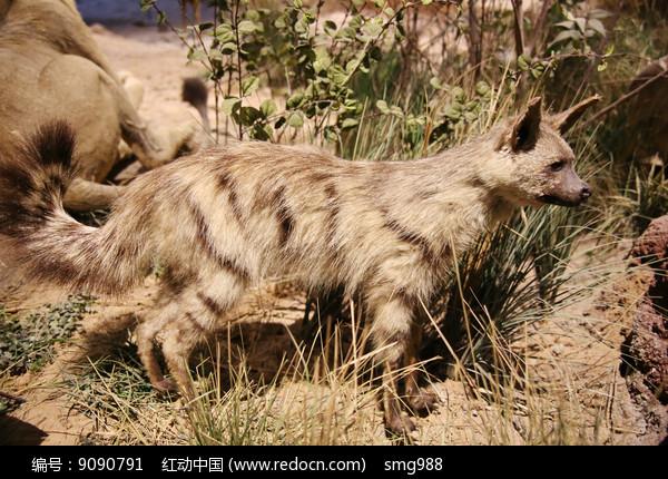 动物标本非洲山猫