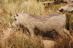 动物标本非洲野猪