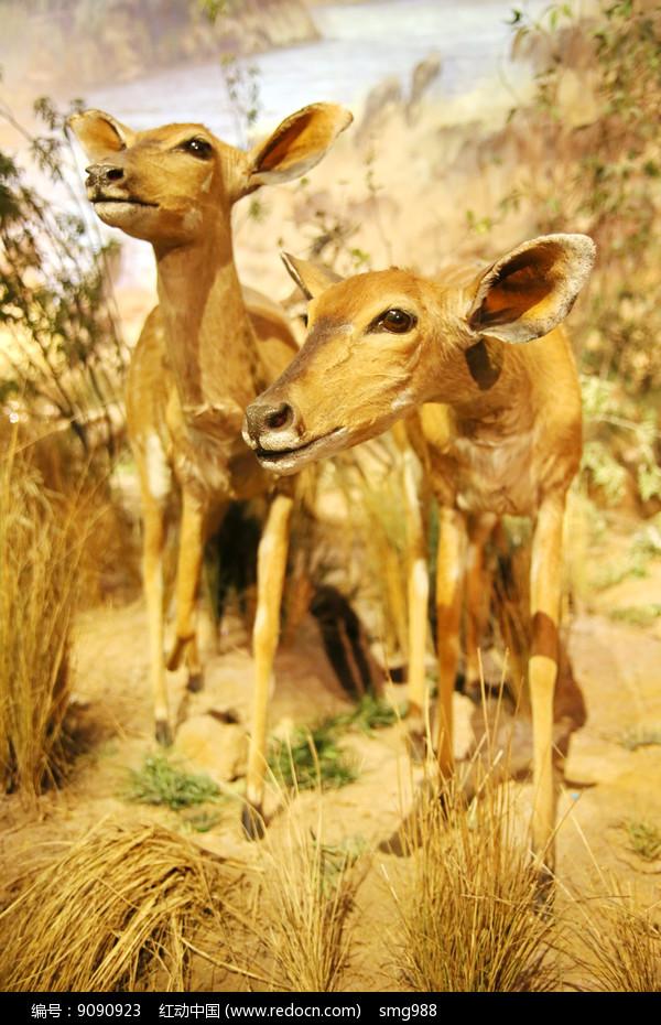 动物物标本非洲鹿