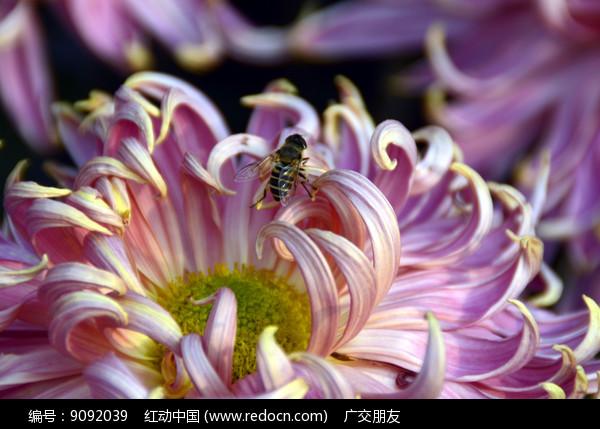 近拍菊花花卉花瓣特写图片图片
