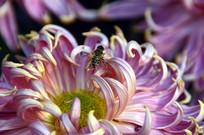 近拍菊花花卉花瓣特写图片