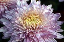 近拍菊花花卉花瓣图片