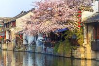 西塘早晨阳光桃花盛开