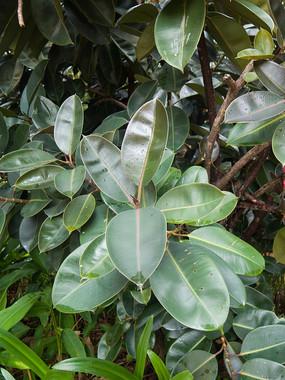 印度榕枝叶