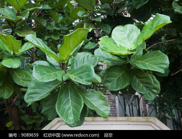 原创摄影图 动物植物 树木枝叶 琴叶榕绿色叶子  请您分享: 红动网