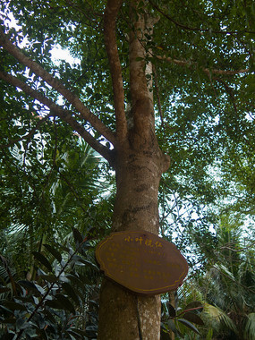 热带植物小叶榄仁