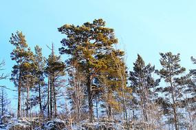 林海雪原樟子松