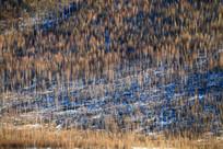 密集的冬季白桦林