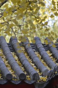 秋天里的金黄色银杏树特写图片