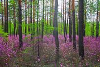 森林杜鹃红