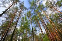 樟子松松林