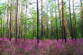 樟子松原始森林杜鹃花盛开