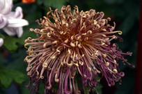 花展里的菊花