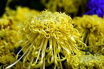 花展里的菊花图