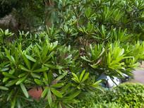 罗汉松科植物兰屿罗汉松