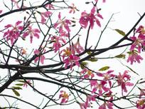 美丽异木棉淡红色花朵