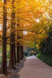 秋天杉树图片