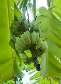 生长中的小米蕉