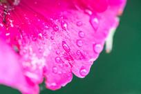 花瓣上的露水