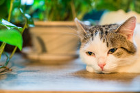 趴在桌子上的猫