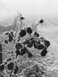 霜降中枯萎的花朵