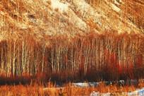 白桦林雪景
