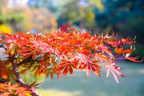 红红的枫叶