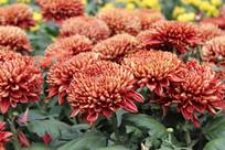 红色金边的菊花