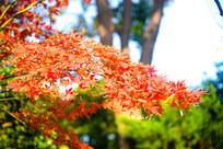秋天里的枫叶