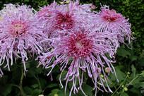 如丝一样的紫色菊花