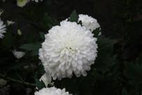 一朵洁白的菊花
